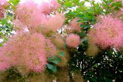 Скумпия: симпатичное и оригинальное растение для украшения сада