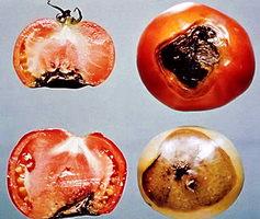 заболевания овощей в теплице
