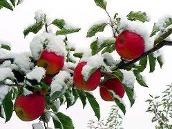 Сибирские яблони неприхотливы и хорошо переносят морозы