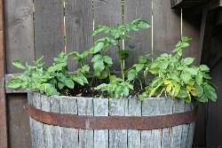 Выращивание картофеля в бочке в последние годы приобретает все большую популярность