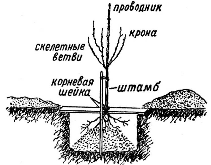 В зависимости от зоны культивирования высаживать персик сорта «Киевский ранний» можно осенью или ранней весной