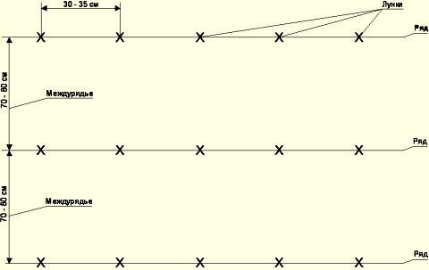 Стандартная схема посадки картофеля «Розана» 70 х 35 см
