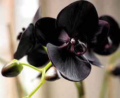 Чёрная орхидея является красивейшим растением