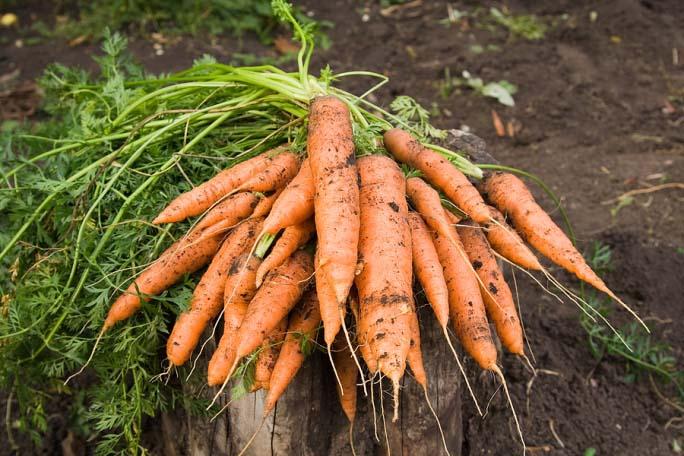 Созревание среднеспелых сортов моркови длится около 100 дней