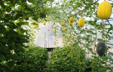 У каждого растения есть своя оптимальная температура выращивания, а значит, под каждую культуру должна быть установлена и оптимальная температура в теплице