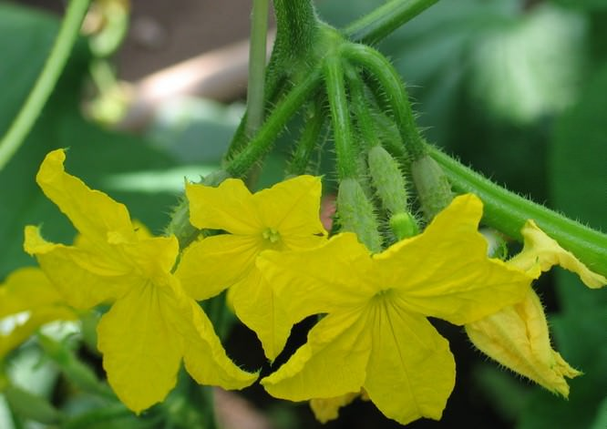 Особенностью сорта «Доломит f1» является женский тип цветения