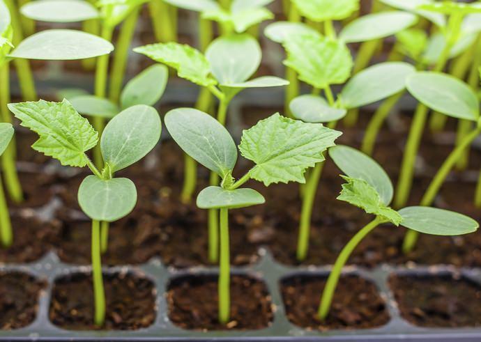 При культивировании огурцов «Мурашка f1» очень хороший результат показывает высаживание рассадой