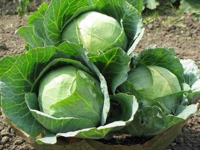 Гибридная форма «Краутман» позволяет получить полноценный урожай свежей овощной продукции через 122-142 дня