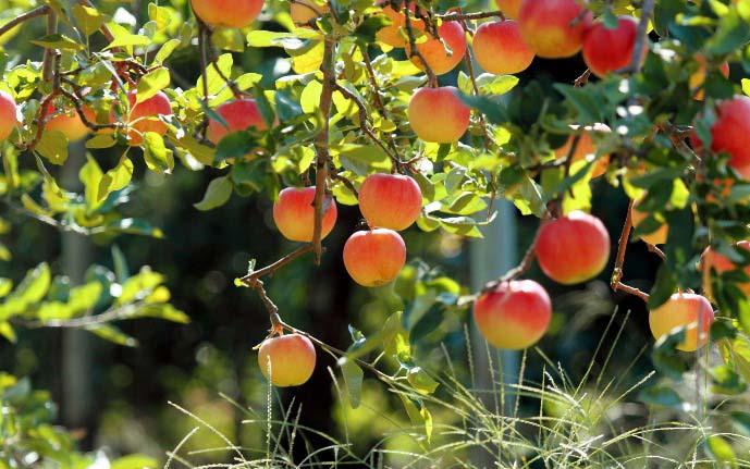 Раннеспелые сорта яблонь созревают в начале лета