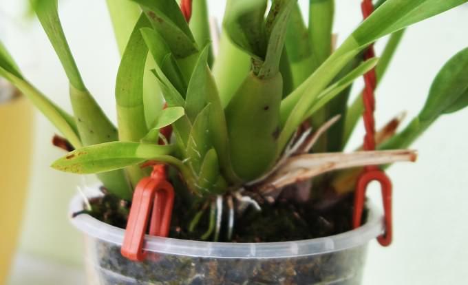 Псевдобульбы орхидеи «Мильтония» при выращивании в домашних условиях способны выбрасывать несколько стеблей