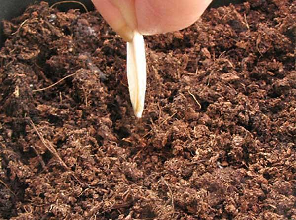 Выращивать огурцы «Эколь f1» лучше на среднесуглинистых, обладающих достаточной рыхлостью почвах