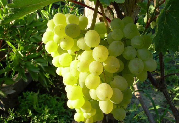 «Алекса» – столовый сорт белого винограда
