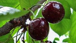 Вишня «Чернокорка» имеет темно-бордовые ягоды
