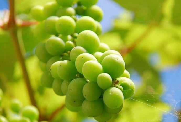 Виноград в башкирии уход обрезка видео
