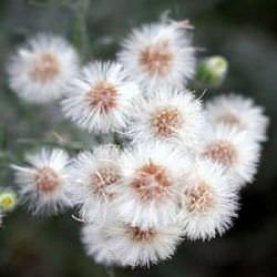 Мелколепестник канадский (трава заткни гузно): применение, показания, лечебные свойства, состав, противопоказания, фото