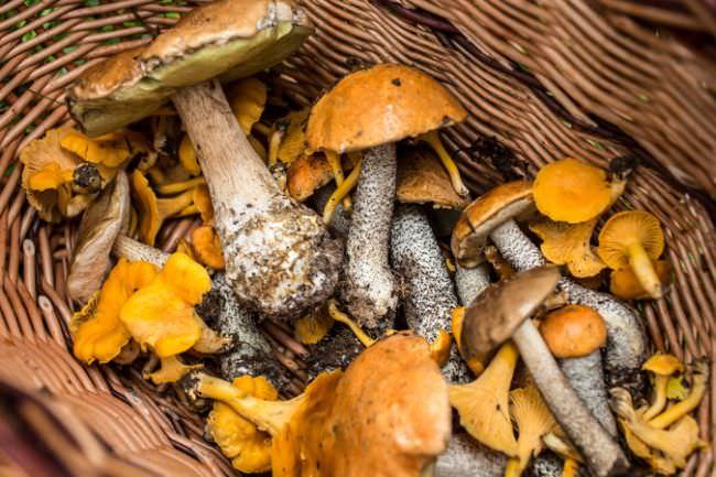 В поисках грибов в Самарской области: описание съедобных и ядовитых видов, места и сроки сбора