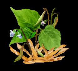 Створки фасоли: полезные, лечебные свойства и противопоказания, фасолевые стручки в народной медицине, рецепты, видео