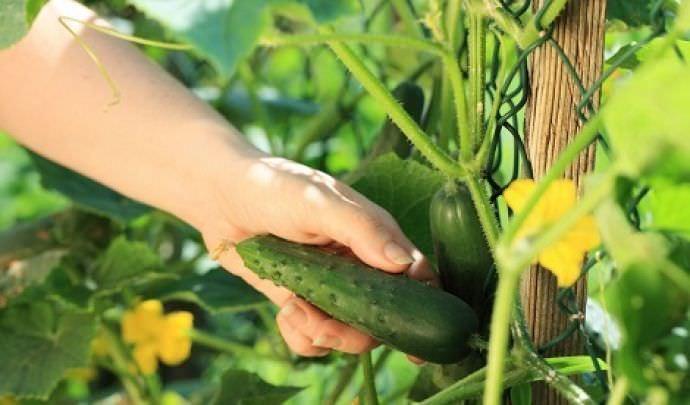 Лучше всего собирать плоды ранним утром, поскольку в это время они упругие и сочные