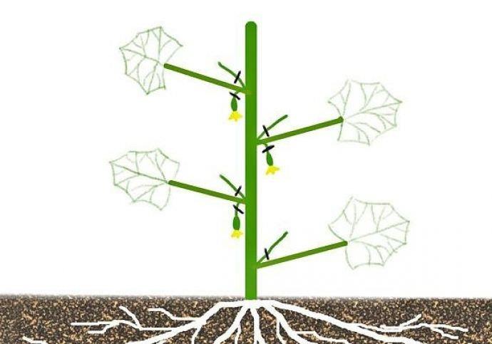 Как только саженцы начали бурно расти и стали давать первые плети, рвущиеся вверх, нужно позаботиться о том, чтобы их вовремя и правильно сформировать