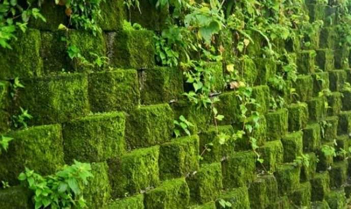Мох настолько стойкое и неприхотливое в уходе растение, что совершенно не нуждается в стрижке или использовании каких-либо подкормок или средств химической защиты