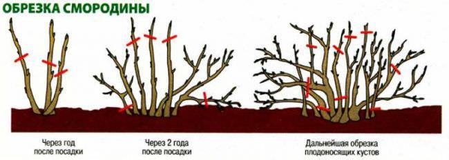 Обрезка черной смородины осенью схема