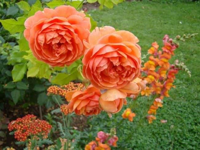 Уход за английскими розами