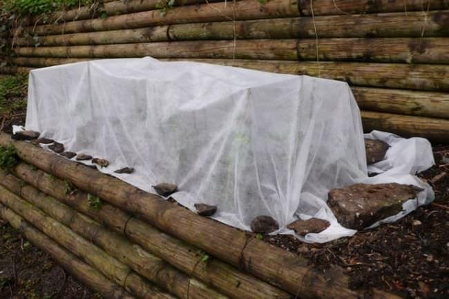 Перед наступлением значительного похолодания рекомендуется укрыть розу Софи Лорен еловым лапником и садовым полиэтиленом