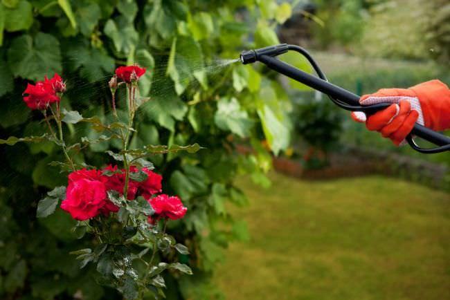 Осуществляется своевременная профилактика поражения роз Софи Лорен грибковыми инфекциями, тлей, жуками, гусеницами и клещами