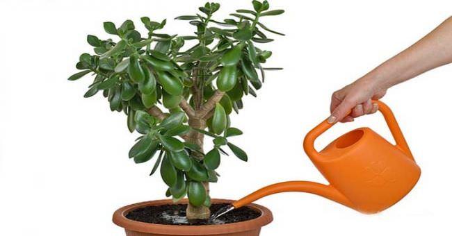 Как пересаживать денежное дерево в домашних условиях