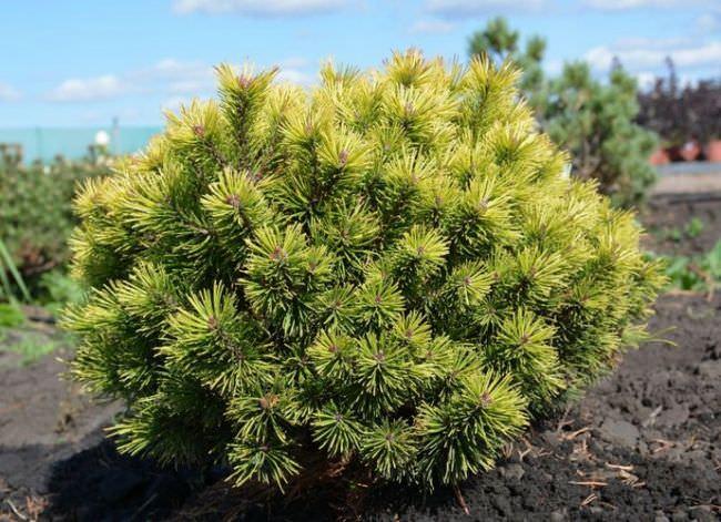 Виды хвойных растений