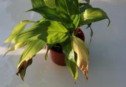 У спатифиллума желтеют листья
