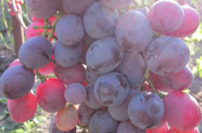Виноград эверест описание сорта фото отзывы