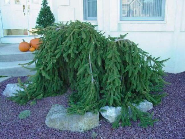 Хвойные растения с плакучей кроной стремительно входят в сады в качестве экземпляров для ландшафтного дизайна