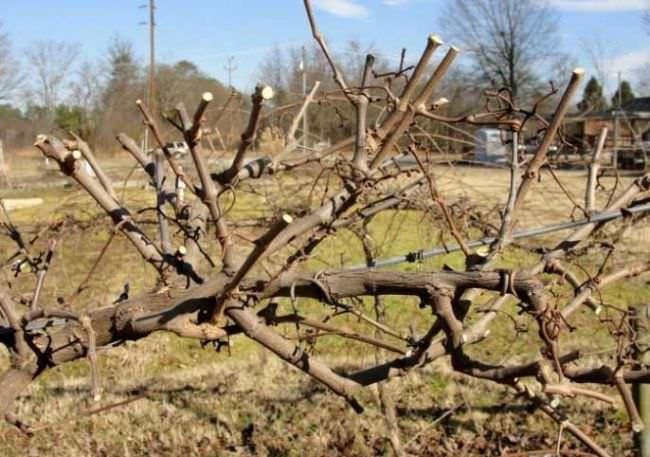Виноград гелиос описание сорта фото отзывы