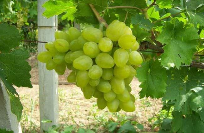 Виноград бажена описание сорта фото отзывы