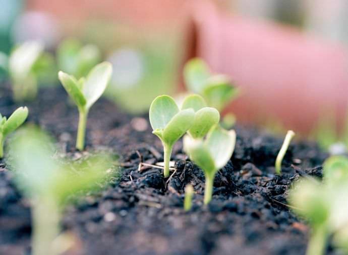 Сладкий и сочный арбуз: сорта и правила выращивания