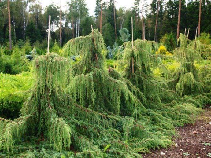 Растение достаточно морозоустойчиво, предпочитает легкую тень