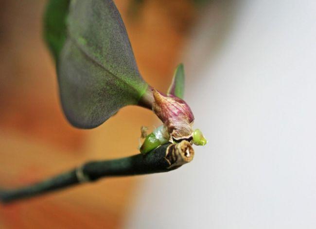 Цветонос на орхидее просто укорачивается, а над почкой следует оставить расстояние не менее 2 см