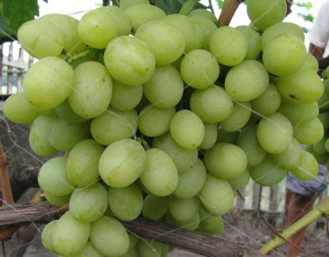 Виноград валек описание сорта фото