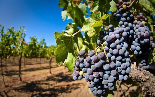 Сорта и особенности выращивания винограда