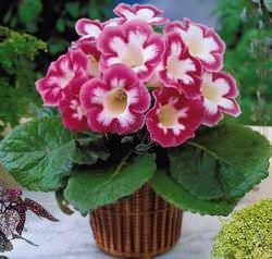 Цветы глоксиния фото