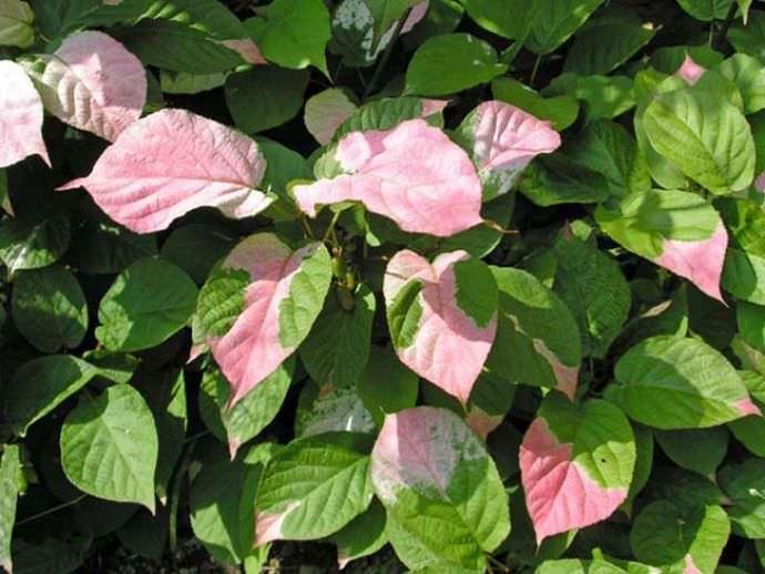 Актинидия Гермафродитная характеризуется декоративно окрашенными листьями, которые обладают очень оригинальным цветом
