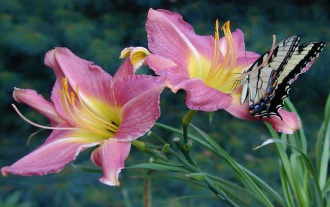 Посадка лилий осенью в сибири