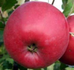 Яблоня «Эрли Женева» является сверхранним сортом