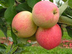 Яблоня «Мечта» относится к летним сортам