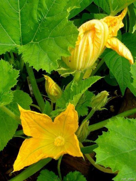 Тыква представляет собой удивительный овощ. Существует множество сортов этой культуры