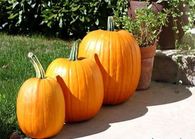 Наибольшей популярностью пользуются тыквы средних размеров. Их легко выращивать, убирать и хранить