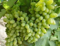 Виноград «Тимур» полностью вызревает за 105-115 дней