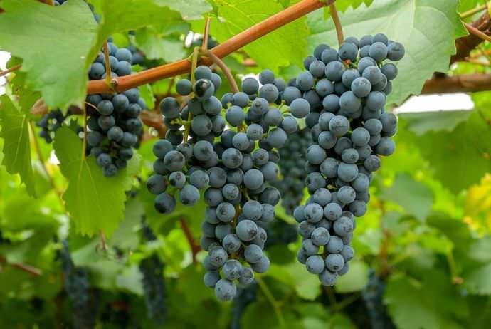 Виноград «Таежный» показывает удивительно легкую приживаемость и совершенно неприхотлив в уходе