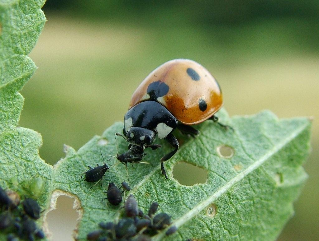 Многие насекомые способны помочь избавиться от тли